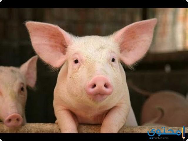 الخنازير في المنام