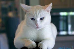 رؤية القطة تهاجمني في المنام