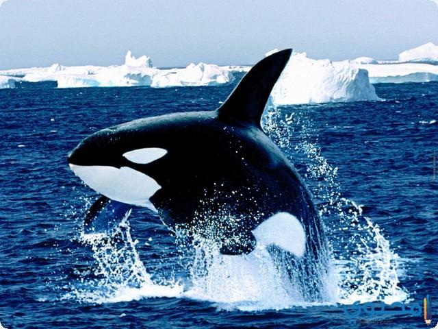 تفسير حلم الحوت في المنام موقع محتوى