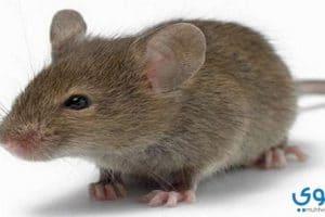 تفسير رؤية قتل الفئران في المنام