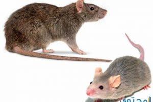 تفسير الفئران في المنام