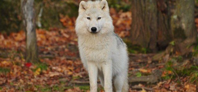 معني رؤية الذئب في المنام