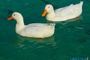 تفسير رؤية البط في المنام