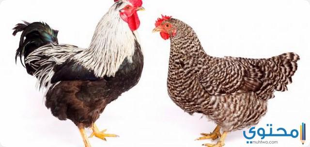 تفسير الدجاج المذبوح