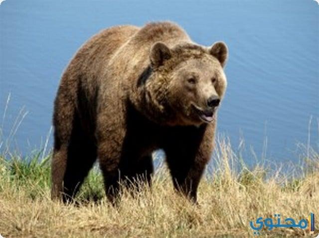 معنى رؤية الدب في المنام