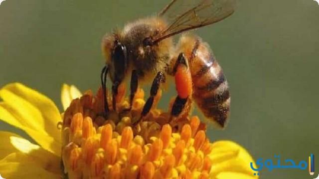 النحل في المنام