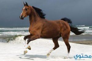 تفسير الحصان في المنام