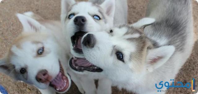 تفسير نباح الكلب