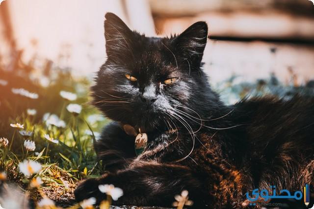 تفسير رؤية القط الأسود في المنام موقع محتوى