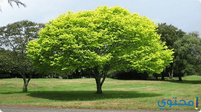 الشجرة في المنام