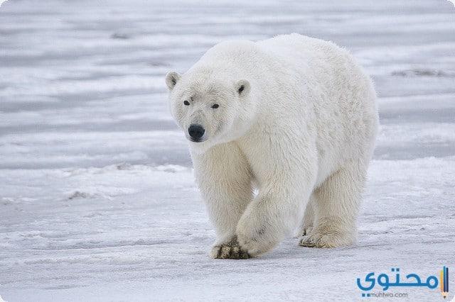 الدب في المنام