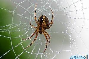 تفسير رؤية العنكبوت الأسود في المنام