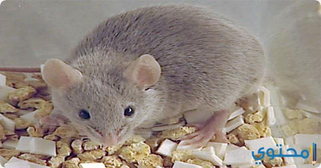 الفأر في المنام