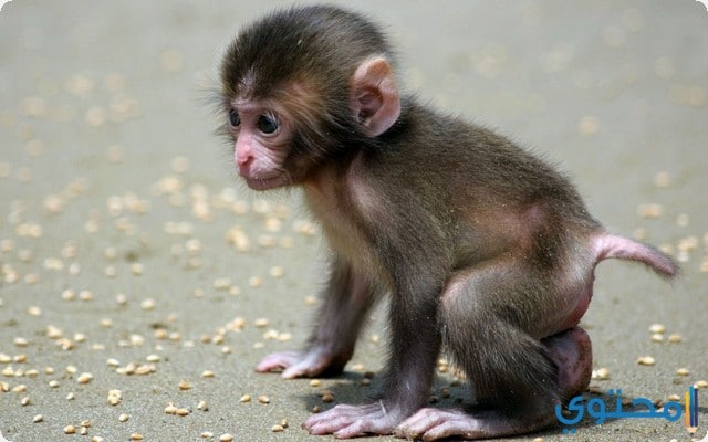 القرد في المنام