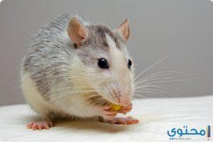 معني الفأر في الحلم