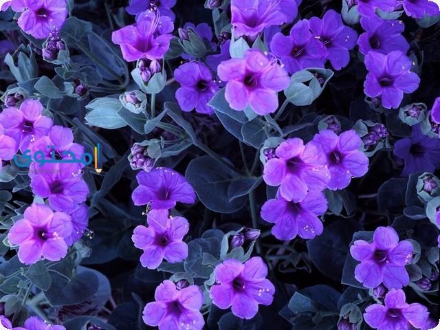 تفسير رؤية زهور البنفسج فى الحلم