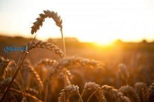 تفسير رؤية سنابل وحبوب القمح فى المنام