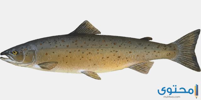 معلومات عن سمك السلمون