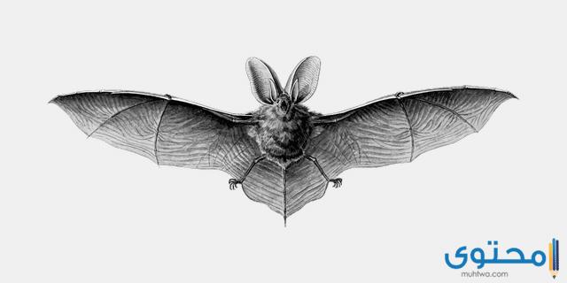 معلومات عن الوطواط