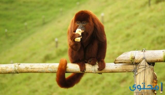 القرد العواء