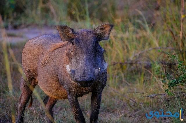 معلومات عن الخنزير البري