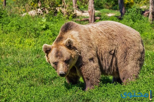 معلومات حول الدببة