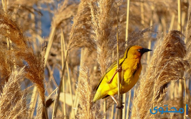 معلومات عن طائر النساج