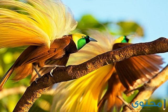 معلومات عن طيور الجنة