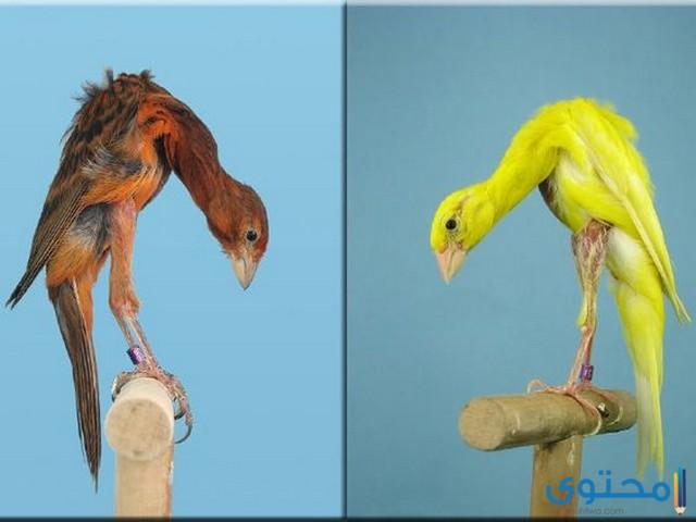 اسماء طيور الكناري 2020