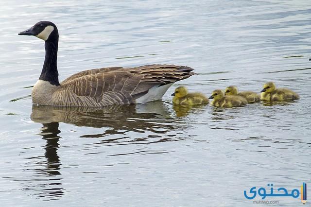 اسماء الطيور المائية مع الصور 2020