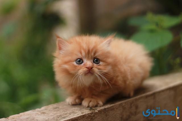 اسماء قطط شيرازي