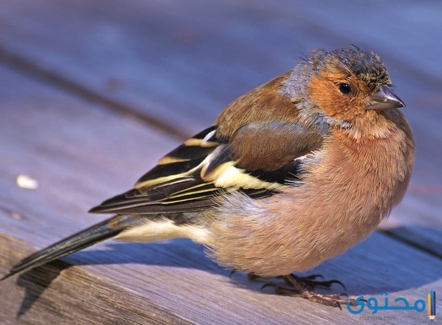 معلومات عن طائر الصغنج