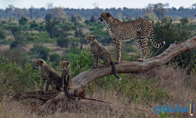 معلومات عن حيوان الفهد