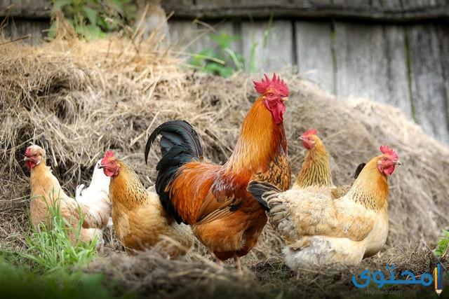 تعليم تربية الدجاج البلدي 2021