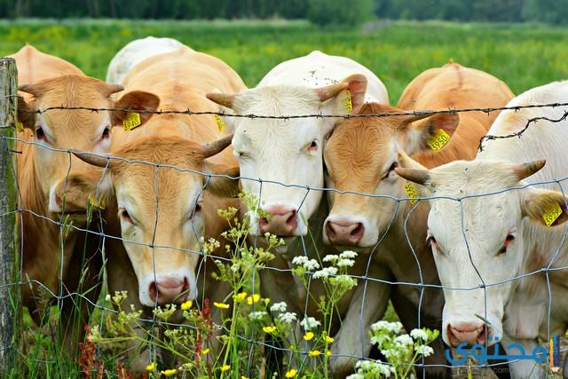 أنواع الأبقار البرية