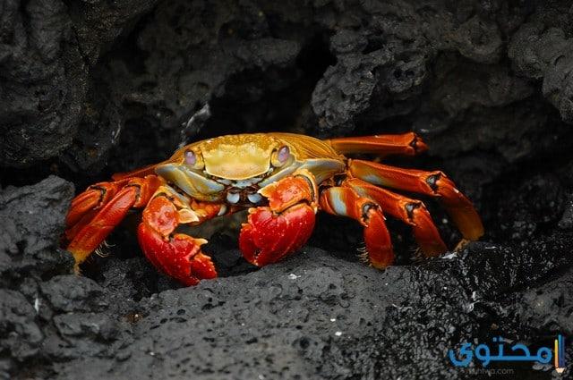حيوان سرطان البحر