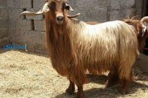 تفسير رؤية التيس ذكر الماعز فى المنام