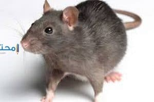 دلالات رؤية الفأر فى المنام