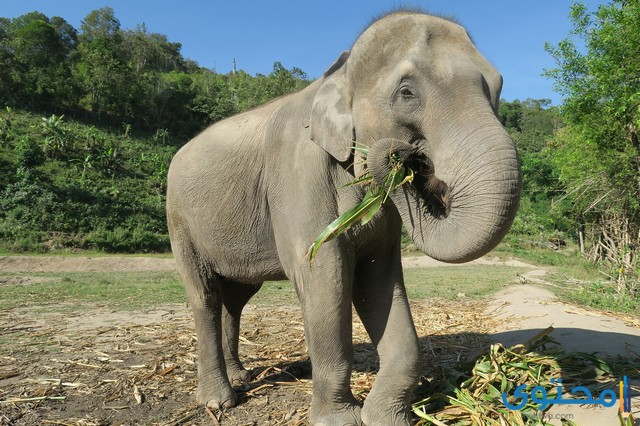 معلومات عن الفيل الأفريقي