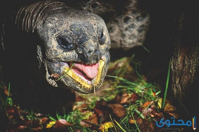 السلاحف البرية