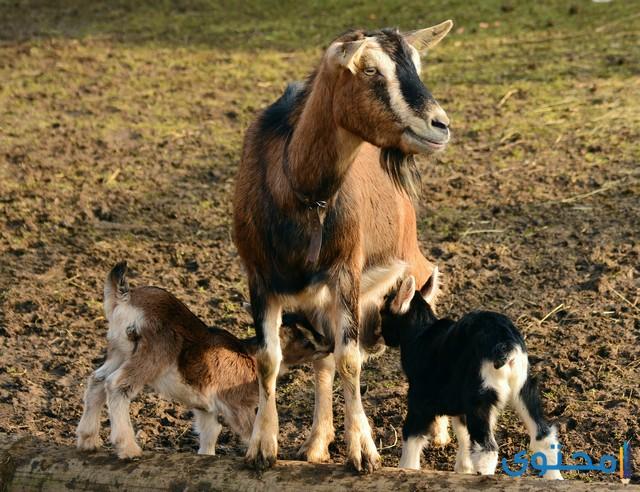 معلومات عن الماعز