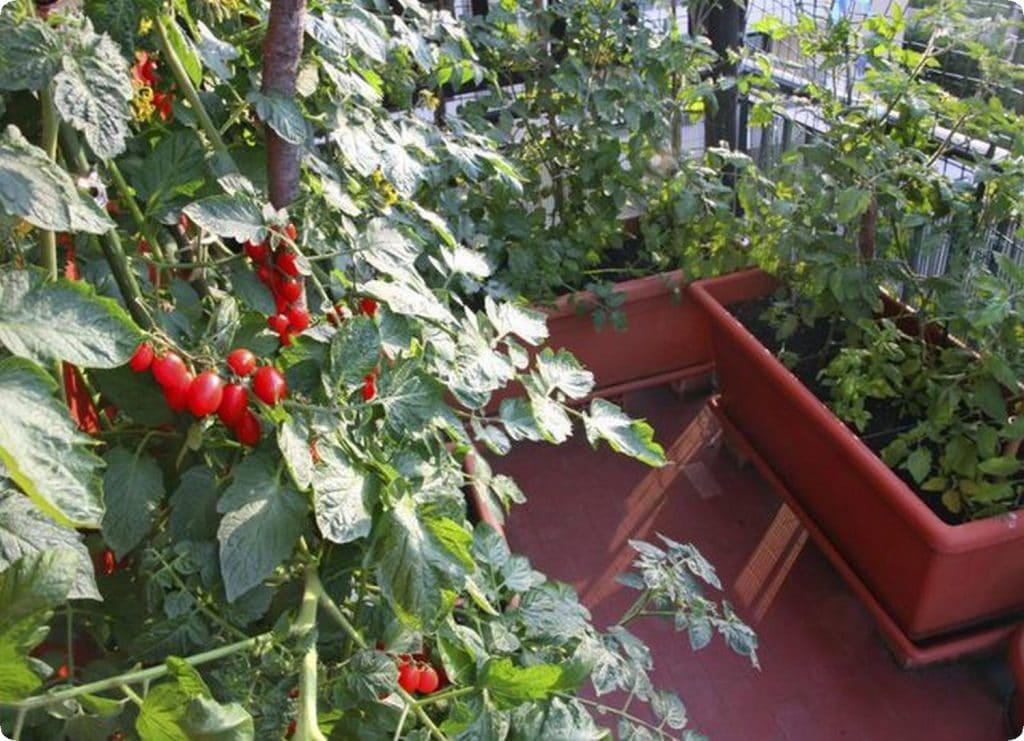 grow in your balcony 1