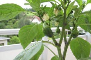 طريقة زراعة الخضار والفاكهة في الغرفة او البلكونة