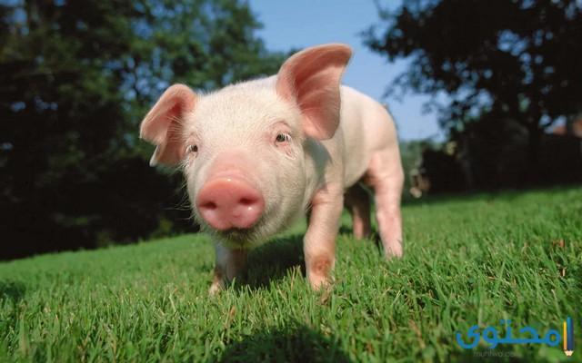 تفسير الاحلام والرؤي الخنزير في المنام