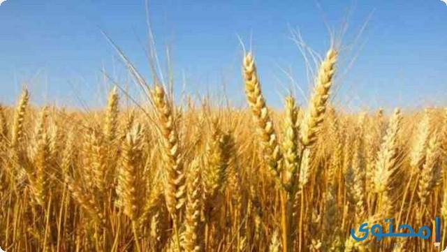 تفسير الاحلام والرؤي القمح في المنام