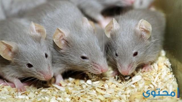 تفسير الاحلام والرؤي قتل الفئران في المنام