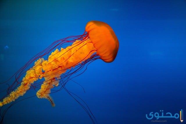 معلومات عن قنديل البحر