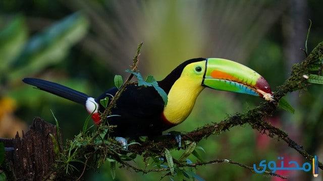 معلومات عن طائر الطوقان