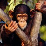تفسير رؤية القرد فى المنام لإبن سيرين