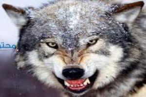 تفسير رؤية الذئب فى المنام بالتفصيل